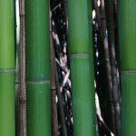 bambusovy_-prales